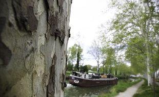 Toulouse, le 23 avril 2013. Les platanes bordent le long du canal du midi. Ici près de Ramonville.