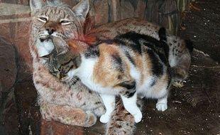 Capture d'écran d'une vidéo montrant l'amitié entre un chat et lynx au zoo de St Petersbourg.