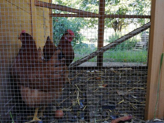 Les poules de la famille alsacienne habitant à La Robertsau pondent tous les jours, ou presque.
