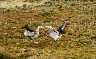 L'albatros Tristan da Cunha est menacé par des souris géantes.