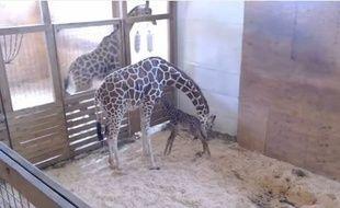 Le bébé d'April la girafe est né