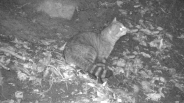 Un chat renard photographié dans son milieu naturel par l'ONCFS.