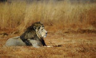 Un lion dans un parc naturel sud-africain au nord de Johannesbourg en 2010.