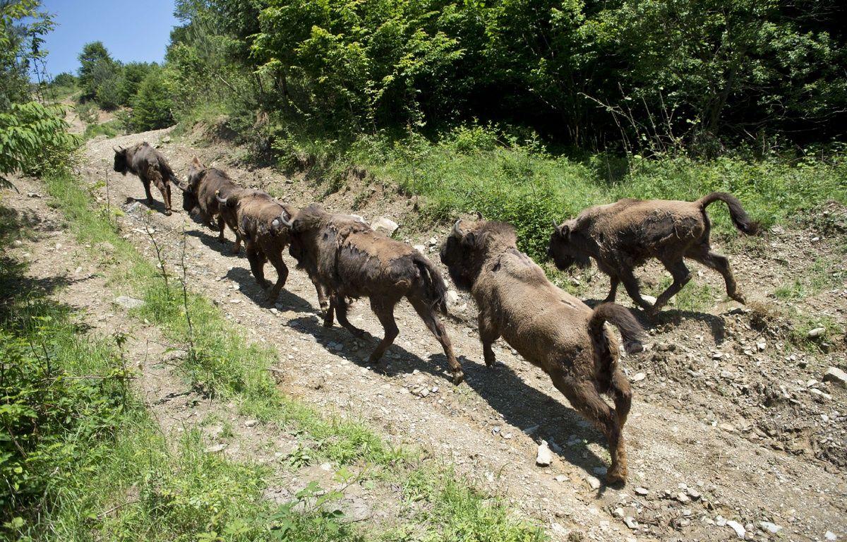 Quatorze bisons, amenés en 2014 de différents zoos d'Europe, ont retrouvé totalement la liberté sur les monts Tarcu en Roumanie. – AFP