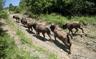 Quatorze bisons, amenés en 2014 de différents zoos d'Europe, ont retrouvé totalement la liberté sur les monts Tarcu en Roumanie.