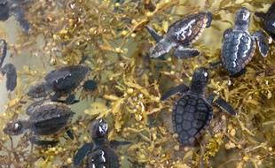 Des bébés tortues caouanne ont été relâchés le 27 juillet dernier au large des côtes de Floride (Etats-Unis)