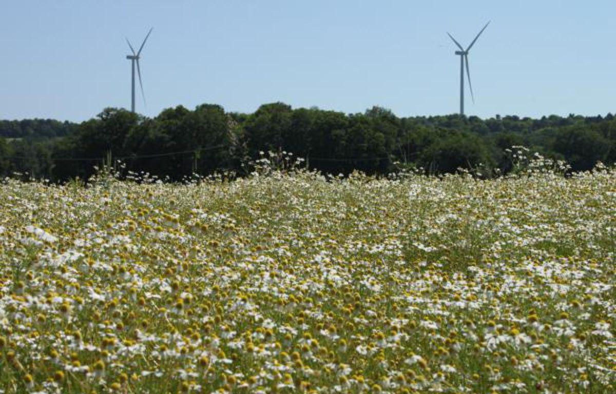 Un champ de camomille d'Yves Rocher, à La Gacilly, dans le Morbihan, en juin 2012. – A.Chauvet - 20 Minutes