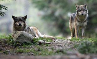 Des tirs de défense du loup, une espèce protégée, ont été autorisés par la préfecture des Hautes-Alpes dans quatre communes après de nouvelles attaques récentes attribuées à l'animal, a annoncé mercredi la préfecture.