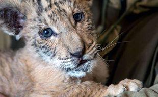 Le petit ligre Tsar, âgé de 2 mois et demi, grandit dans un zoo russe