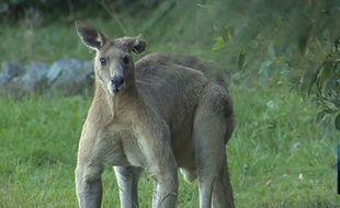 Le kangourou de 2 mètres qui terrifie la région de Brisbane.