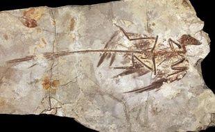 Découvert en Chine, un fossile de Microraptor, un dinosaure du Crétacé inférieur (130 à 125 millions d'années).