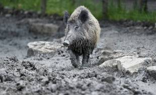 L'épidémie de peste porcine africaine, comme la peste porcine classique, se transmet entre sangliers et porcs. Illustration
