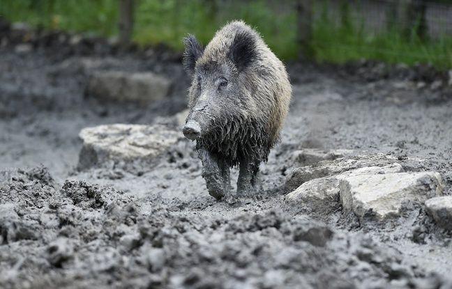 Alsace: Faut-il s'inquiéter de l'épidémie de peste porcine africaine en Europe de l'Est?