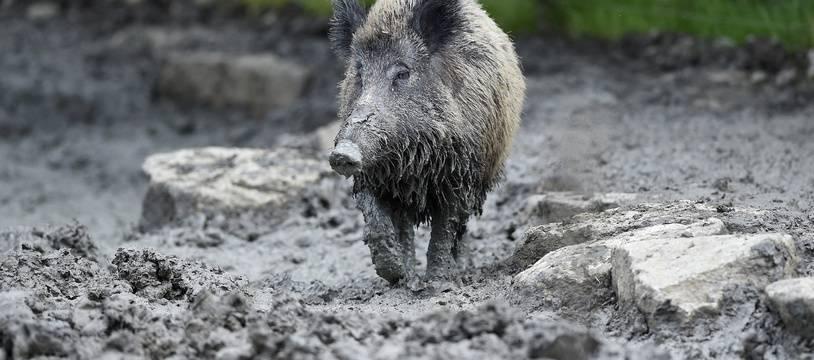L'épidémie de peste porcine africaine, comme la peste porcine classique, se transmet notamment entre sangliers et porcs (Illustration).