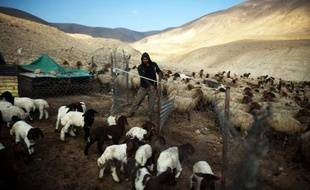 Un Palestinien de la famille Bani Minna, dont le campement a été démoli à plusieurs reprises par les bulldozers israéliens, s'occupe de son troupeau dans la vallée du Jourdain, le 17 février 2014