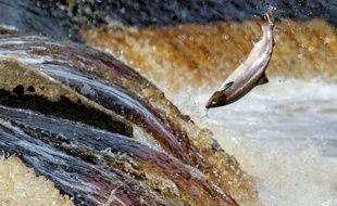 Un saumon dans une rivière anglaise.