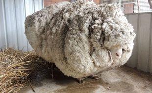 Baarack ne détrône cependant pas Chris, l'autre mouton australien qui détient le record de la toison la plus lourde depuis 2015.