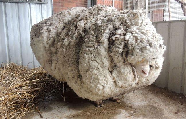 648x415 chris mouton australien detient record toison plus lourde