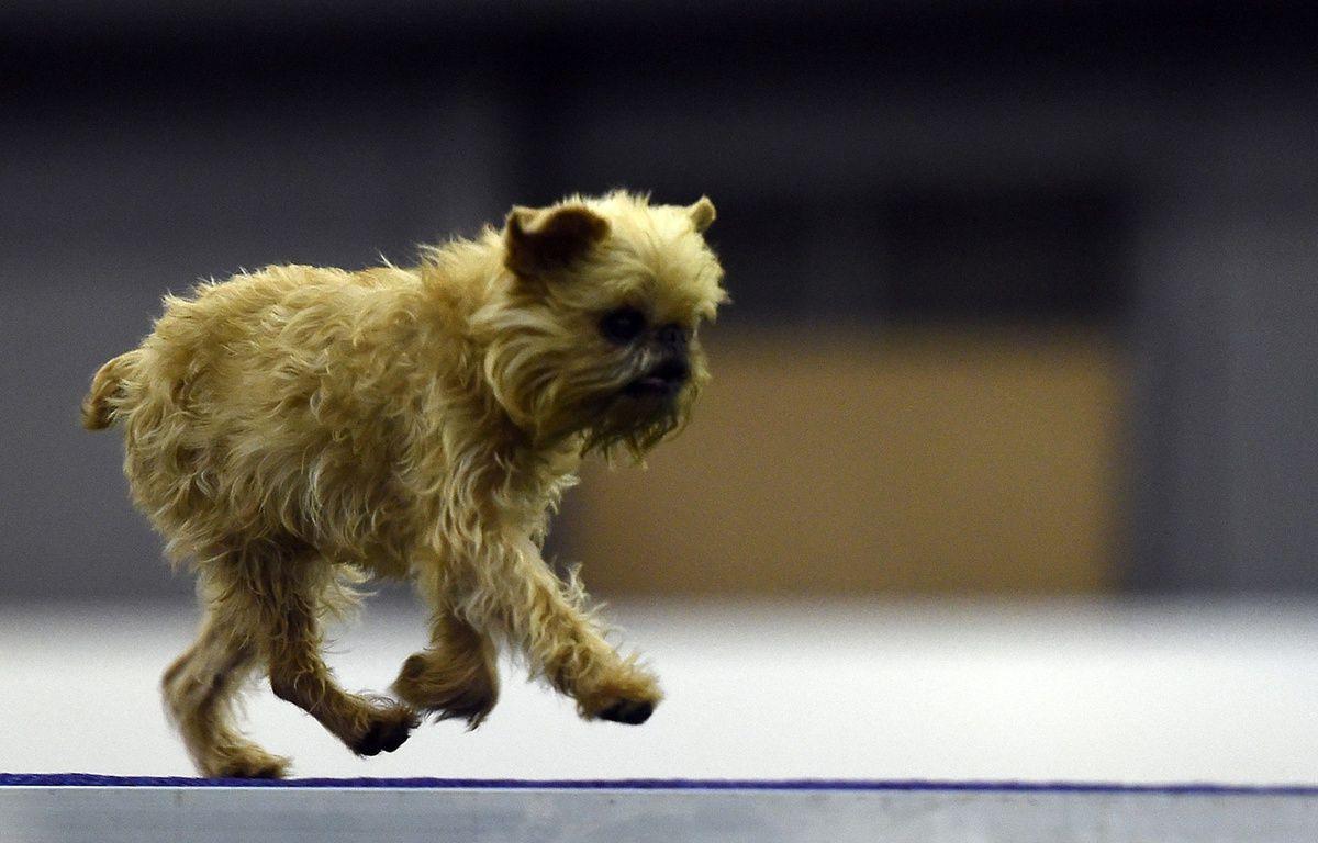 C'est un petit chien comme celui-ci qui a subi des sévices sexuels (illustration). – T.CLARY/AFP