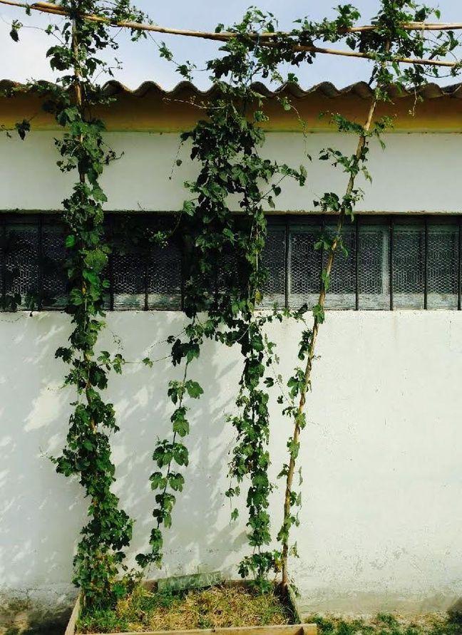 Une plante de houblon peut monter jusqu'à 10 mètres de haut.