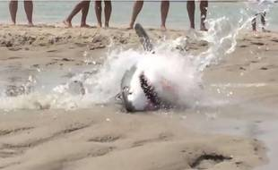 Capture d'écran d'une vidéo publiée sur YouTube montrant des vacanciers sauver un requin blanc échoué sur un eplage du Massachussetts, le 13 juillet 2015.