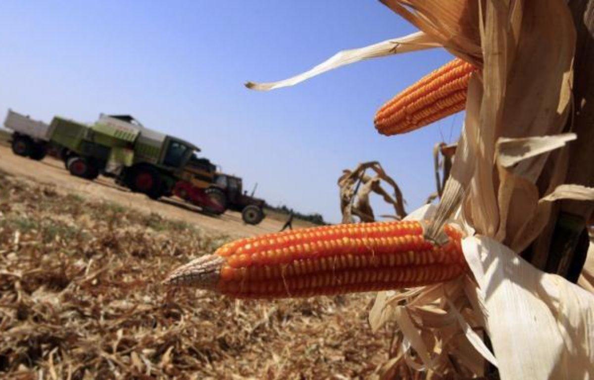 Le Conseil d'Etat a annulé lundi la suspension de culture du maïs OGM de Monsanto prise par le gouvernement français en février 2008 et remise en cause depuis par la Cour de justice européenne. – Khaled Desouki afp.com