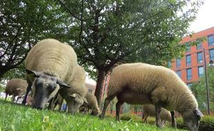Des moutons en ville. Illustration.