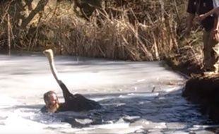 Le gardien du zoo a plongé dans la rivière glacée pour secourir une autruche coincée dans l'eau.