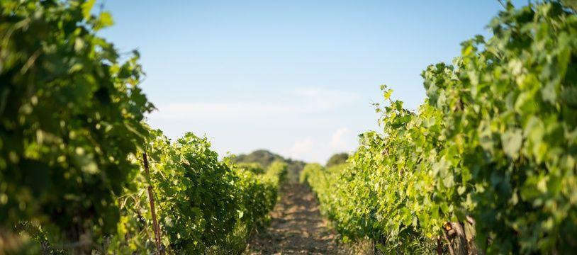 Illustration de vignes, ici dans le Gard, le 14 août 2015.