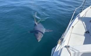 Le 14 juin 2020, le musicien Jean-Charles Guichen a pu contempler un requin taupe à la sortie du port de Trégastel, dans les Côtes d'Armor.