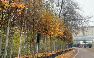 Les chênes, érables, mis en pot pour les plantations éphémères cet été vont être replantés en terre. Strasbourg le 24/11/2020