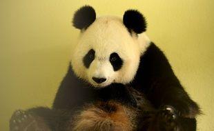 La femelle panda Huan Han, ici dans son box au zoo de Beauval, devrait mettre bas vendredi ou samedi.