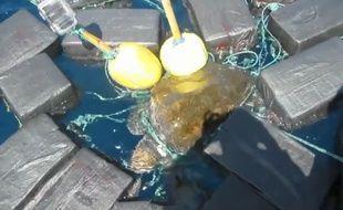 Les gardes-côtes  de Floride ont sauvé une tortue marine emprisonné dans des filets et attachée à des sacs remplis de cocaïne