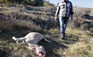 """""""Il faut qu'on se fasse une raison: berger, c'est un métier perdu"""", soupire Bernard Bruno, qui garde son troupeau sur le plateau de Caussols, au nord de Grasse, et qui vient de perdre 13 brebis, dernières victimes en date du loup dans les Alpes-Maritimes."""