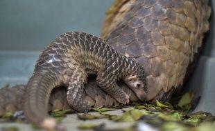 Une femelle pangolin avec son petit. Illustration.