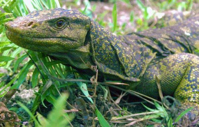 Photographie d'un Varanus bitatawa prise aux Philippines le 30 juillet 2009.