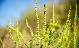 L'ambroisie est une plante allergisante.
