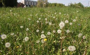 Lille, le 19 avril 2011. Les graines de pissenlits provoquent parfois des allergies.