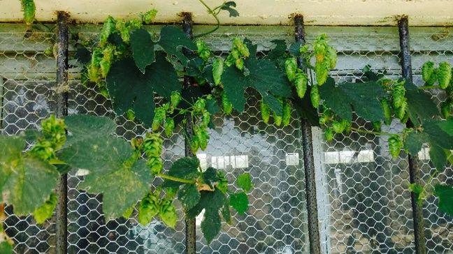 Un plante de houblon s'accroche un peu partout.