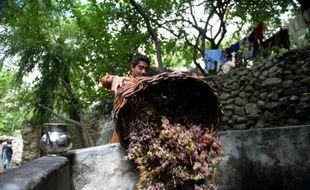 Récolte du raisin le 27 septembre 201 dans le village de Sher Qilla au Pakistan