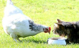 La poule, en passe de devenir un animal de compagnie comme les chats.
