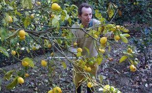 Le véritable citron de Menton, avec sa peau jaune vif parfumée et son jus plus sucré, est devenu une denrée rare cultivée par une poignée de passionnés et convoitée par les grands chefs étoilés.