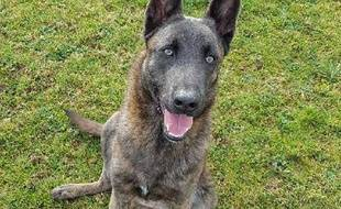 Simba, chien battu devenu chien de la gendarmerie.