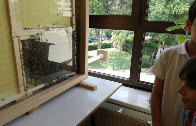 La ruche d'observation est située en classe mais un tube permet aux abeilles de sortir pour butiner dehors à l'école Robert Schuman à Strasbourg.