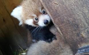 Naissance de deux bébés pandas roux au zoo de Pessac