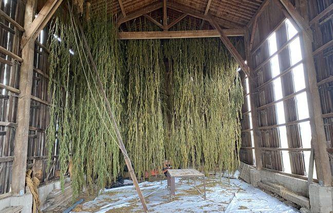 Des plants de cannabis en train de sécher dans un ancien séchoir à tabac en Gironde