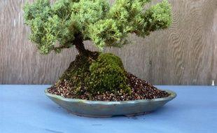 Illustration d'un bonsaï