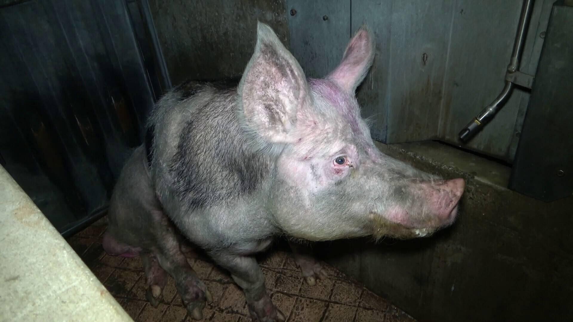 Des truies de réforme sont victimes de maltraitances à l'abattoir de Briec, dans le Finistère. Un établissement propriété du groupe Les Mousquetaires Intermarché.