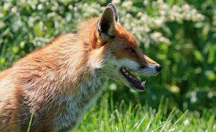 L'arrêté pour réguler la population de renards en Seine-Maritime est suspendu (Illustration)