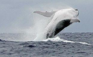Une baleine à bosse.